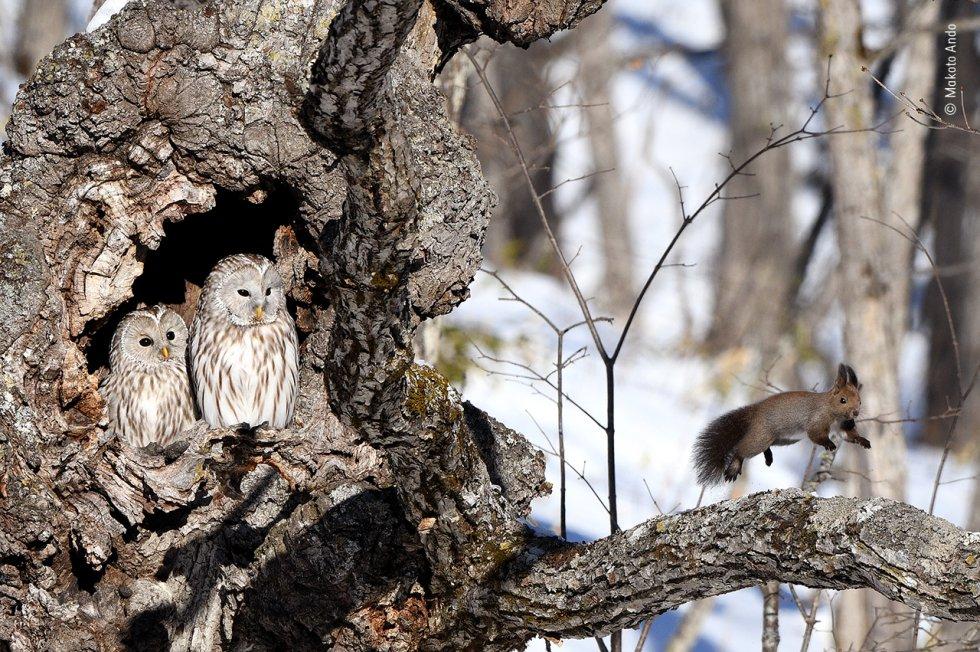 Una ardilla roja corre al avistar un par de búhos de los Urales, en un bosque en la isla japonesa de Hokkaido.