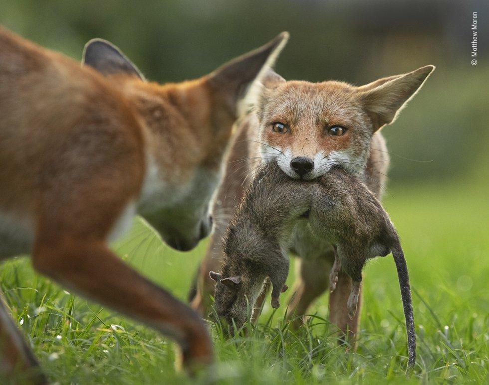 Un zorro se aferra con fuerza a su presa, una rata muerta, mientras otro intenta quitársela, en un campo al norte de Londres.