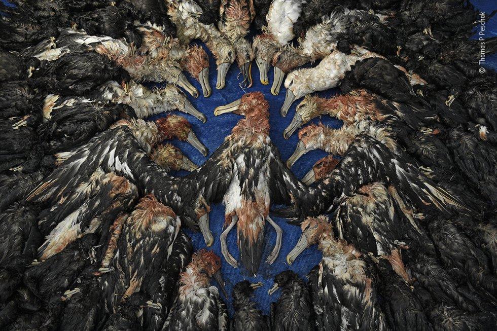 Una prueba del éxito de una inicativa de conservación en Sudáfrica. La imagen muestra un número comparativamente menor de aves marinas muertas, en este caso, albatros y petreles de mentón blanco, que los capturadas en años anteriores como consecuencia de la pesca con palangre de los barcos atuneros japoneses que operan de manera ilegal frente a las costas de Sudáfrica.