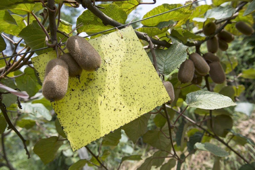 A diferencia de lo que hacían antes, los agricultores ahora apuestan por métodos de control de plagas menos dañinos para el medio ambiente. Algunos son tan rudimentarios como láminas de plástico pegajoso o botellas con líquido azucarado.