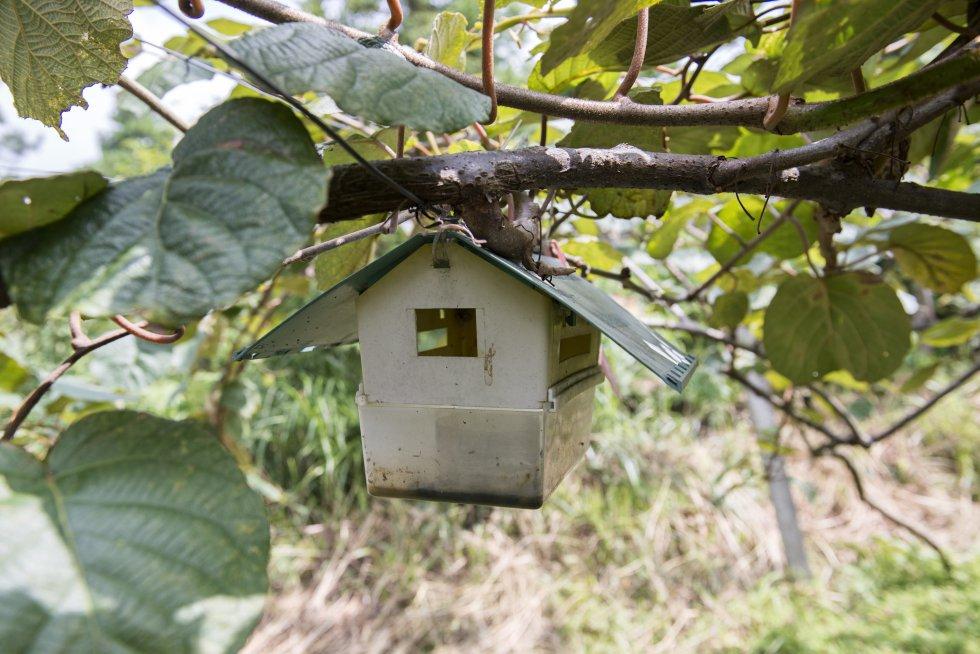 """""""Antes utilizábamos más pesticidas y fertilizantes, y los echábamos a ojo. Ahora los hemos cambiado por métodos más naturales para acabar con las plagas y todo se hace siguiendo un método científico"""", explica Zhou Zenping, propietario de una explotación de kiwi, mientras señala unos plásticos pegajosos que atraen a los insectos y las pequeñas casitas de madera que han instalado para que sus depredadores naturales se sientan a gusto."""