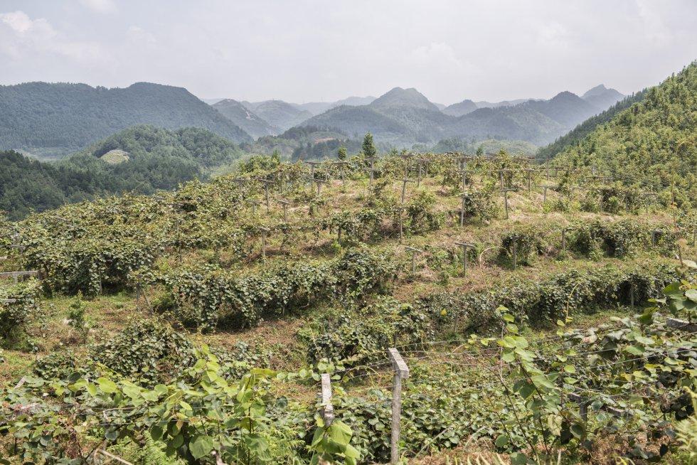 En lo alto de alguna de las suaves montañas del condado de Xiuwen, en la provincia sureña de Guizhou, se descubren plantaciones de kiwis tan extensas que se pierden en el horizonte. Aquí y allá, algunos elementos sorprendentes rompen la monotonía de esta masa verde que cubre más de 11.000 hectáreas.