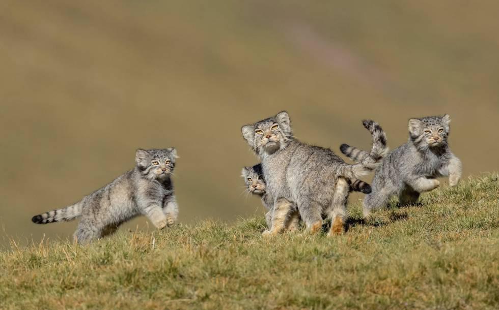 """Esta foto inhabitual de una familia de manules o gatos de Pallas fue tomada en las estepas de la meseta del Tíbet (China) y es el resultado de seis años de trabajo en grandes altitudes. Los pequeños felinos suelen ser solitarios y escurridizos, recoge un comunicado de los premios. Es la ganadora de la categoría """"Comportamiento de mamíferos""""."""