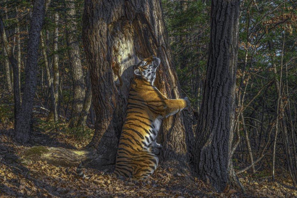 """La imagen destacada sobre todas las ganadoras (""""grand title winner"""", o ganadora absoluta) es 'El abrazo', que concurría en la categoría de """"Animales en su entorno"""". Muestra a una tigresa rodeando con sus garras un abeto de Manchuria, mientras roza las mejillas contra la corteza para dejar secreciones de sus glándulas. Se trata de un ejemplar de tigre amur o siberiano, en el parque nacional Leopardo de Rusia, el hábitat donde más abunda. Las medidas de protección contra su caza parecen dar resultado. Un estudio reciente calculaba su población en medio millar de animales, un aumento considerable con respecto a los censos existentes."""