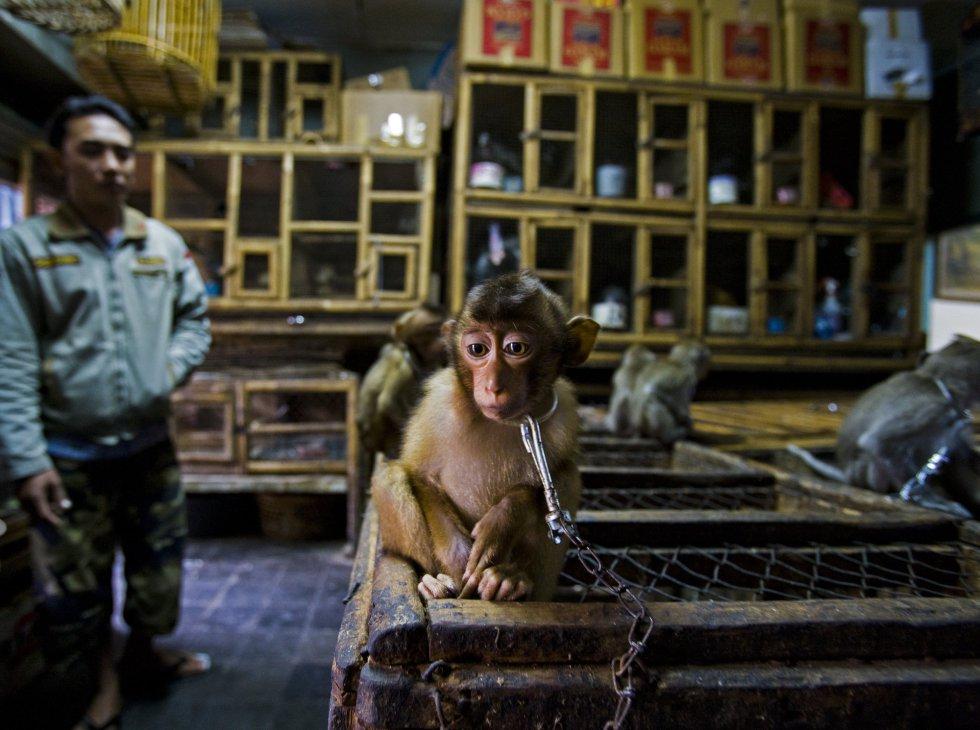 """'La trastienda' muestra a un macaco cola de cerdo encadenado y expuesto para triste atracción en un mercado de pájaros de Indonesia. Estos monos son primates sociales y muy energéticos que suelen agruparse en manadas numerosas en los bosques del sureste asiático. Conforme se destruyen sus hábitats naturales, suelen arrasar los cultivos y se los mata como si de una plaga se tratase, señala el comunicado de los premios 'Wildlife Photographer of the Year'. La images es la ganadora en la categoría de """"Historias de fotoperiodismo""""."""