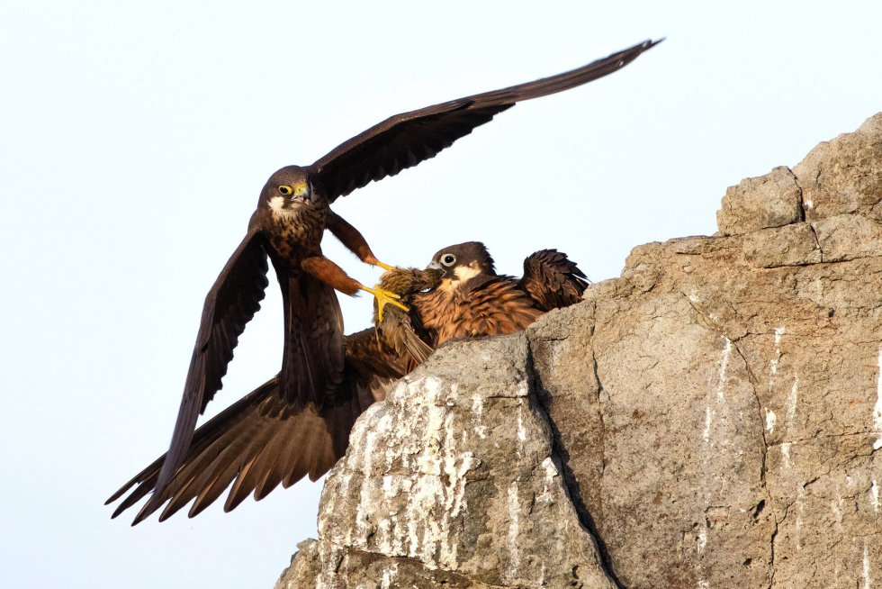 """Un halcón eleonora macho trae comida a su compañera en un risco de Cerdeña (Italia). Esta rapaz suele criar en acantilados y en pequeñas islas en el Mediterráneo hacia finales de verano, para coincidir así con las masivas migraciones de pájaros que van de Europa a África en esas fechas, a las que los machos depredan normalmente a grandes altitudes y lejos de la costa. Es la imagen triunfadora en la categoría """"Rising Star Portfolio""""."""