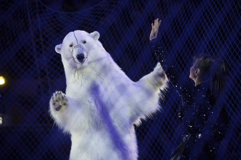 """Oso de circo. Una mano levantada le indica al oso blanco que se ponga en pie. La foto muestra cómo el animal ejecuta el gesto con incomodidad. La imagen fue tomada en una etapa del Circo Ruso en Kazán (Tataristán, Rusia). Ha obtenido el primer premio en la categoría de """"Imagen individual de fotoperiodismo de la vida salvaje""""."""