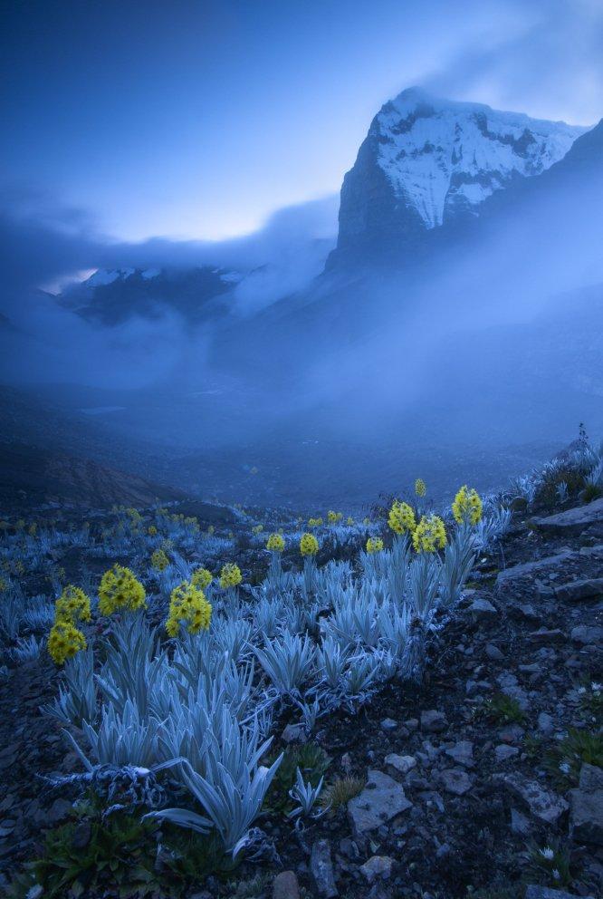 """Esta impresionante imagen azul fue tomada cerca del pico más alto de la cordillera oriental de los Andes colombianos, el Ritak'Uwa Blanco. El autor plantó su tienda en el valle y escaló para captar el pico cubierto de nieve en el momento del ocaso. Las plantas que aparecen en primer término son conocidas como árnicas blancas, una especie emparentada con las margaritas, que solo crece en esta zona, a gran altitud, de Colombia. La imagen ha merecido el primer premio de la categoría de """"Plantas y hongos""""."""