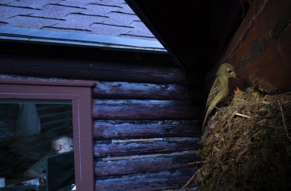 """El fotógrafo capta esta curiosa composición en la que se aprecia a un papamoscas alimentar a sus polluelos cerca de una cabaña de las montañas Rocosas, en Montana (EE UU). Padre y madre se alternan en la alimentación de las crías. Quizá escogieran la ubicación, cercana a una casa habitada, para evitar a depredadores, apunta el comunicado difundido por la organización de los premios de fotografía. La fotografía ha triunfado en la categoría de """"Naturaleza urbana""""."""