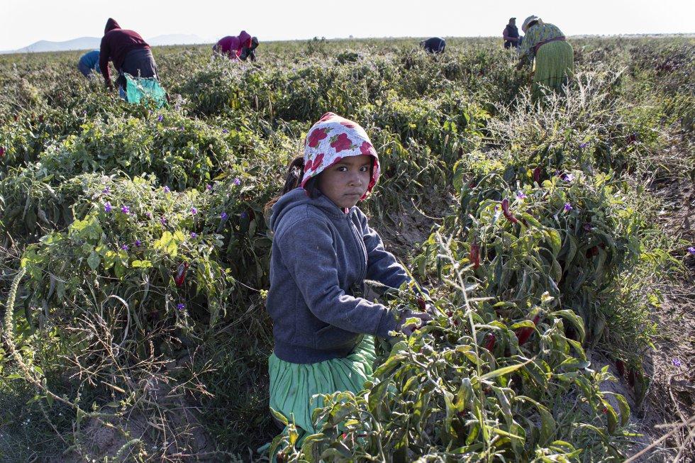 Marisa, de unos cinco o seis años, no sabe cuál es su edad. Su madre, Josefina, asegura que trae a la pequeña al campo por los riesgos que correría si la deja sola en el rancho del patrón, donde viven. Marisa recoge chiles como cualquier adulto. Se han detectado 623 menores de edad —211 por debajo de los 15 años— en campos agrícolas de Chihuahua desde 2018 gracias a 493 inspecciones, según datos de la Secretaría estatal del Trabajo (STPS). El trabajo infantil aumentó un 8% respecto al ejercicio anterior, cuando murieron al menos 15 chicos en esos latifundios. rnrn