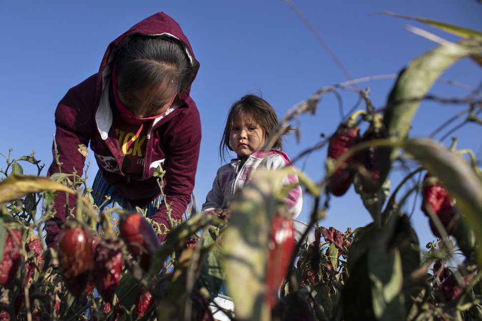 Daisy, de tres años, y su madre Macrina, de 21, recogen chiles. La mayoría de jornaleros en los campos de chile de Chihuahua son rarámuri que tuvieron que abandonar la Sierra Tarahumara (unos 300 kilómetros al este) debido a la sequía y al crimen organizado. Sus tierras se ubican en el llamado Triángulo Dorado, feudo del narcotráfico dedicado a la tala ilegal y a la siembra de amapola y marihuana.