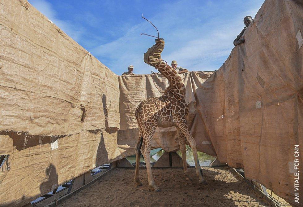 Una jirafa de Rothschild es trasladada a un lugar seguro en una barcaza construida a medida desde una isla inundada de Longicharo, en el lago Baringo, en el oeste de Kenia.