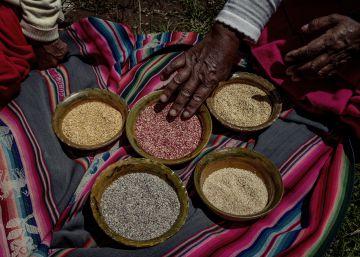 La recuperación del alimento sagrado de los incas