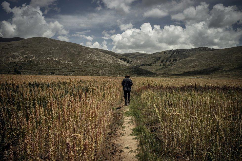 Originaria de los altiplanos entre Perú y Bolivia, la quinoa se ha clasificado muchas veces apresuradamente como cereal, pero forma parte de las quenopodiáceas, una familia que incluye numerosas especies, como la espinaca y la remolacha. Su cultivo en las mesetas pedregosas de los Andes, a unos 4.000 metros sobre el nivel del mar, se remonta a más de 5.000 años. Celedonio Ccampaza Baca, campesino y el facilitador del proyecto GEF Agrobiodiversidad SIPAM y del mecanismo de Recompensas por Servicios de Conservación de la Agrobiodiversidad (ReSCA), camina en su campo de quinoa 'plomo qoitu' en el distrito de Acora.