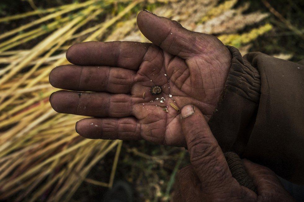 Los grandes productores que empezaron el cultivo intensivo de quinoa en la costa de Perú, usan, para aumentar el rendimiento, fertilizantes y pesticidas químicos contra bacterias, bichos, plagas y enfermedades causadas por la mayor humedad y la cercanía al mar. Un campesino del proyecto de agrobiodiversidad ReSCA enseña las plagas que afectan a la quinoa.