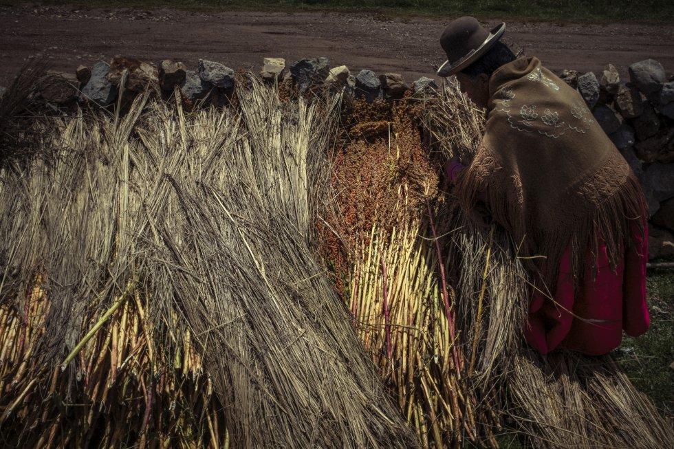 """El proyecto ReSCA, impulsado por el gobierno con el financiamiento del Fondo para el Medio Ambiente Mundial (GEF) y el apoyo de la Organización de las Naciones Unidas para la Alimentación y la Agricultura (FAO por sus siglas en inglés), está convirtiendo los agricultores y agricultoras en """"socios estratégicos"""" para la conservación y uso sostenible de cultivos nativos. En la imagen, una campesina coloca las plantas recién cortadas contra un muro de piedra, tapadas, para secarlas y procesarla."""