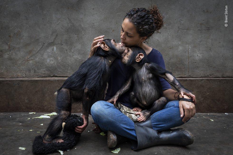 Brent Stirton (Sudáfrica) presenta el perfil de un centro de rehabilitación que cuida de chimpancés huérfanos por el comercio de carne de animales silvestres. Muchas personas de todo el mundo dependen de la carne de animales salvajes —carne de caza— para obtener proteínas, así como una fuente de ingresos. La caza de especies en peligro de extinción, como los chimpancés, es ilegal, pero se produce con demasiada frecuencia. Las fotografías de Brent documentan el trabajo del Centro de Rehabilitación de Primates de Lwiro, que rescata y rehabilita primates huérfanos a causa de la caza furtiva. Muchos de sus empleados son supervivientes del conflicto militar en la República Democrática del Congo. Trabajar en el centro les ayuda a recuperarse.