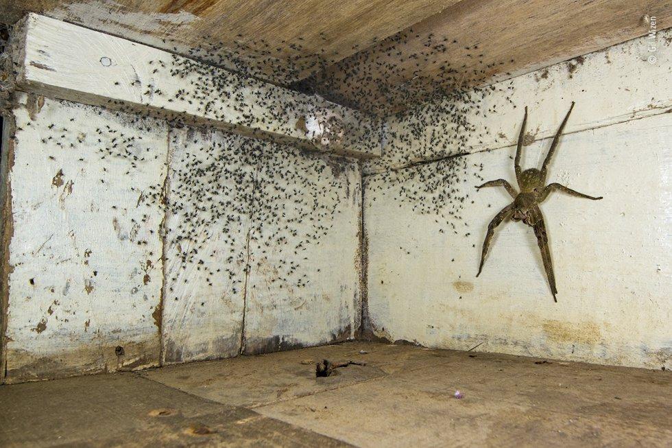 Gil Wizen (Israel  Canadá) encuentra una venenosa araña errante brasileña escondida bajo su cama. Después de notar que había arañas diminutas por toda su habitación, Gil miró debajo de su cama. Allí, guardando su cría, estaba una de las arañas más venenosas del mundo. Antes de trasladarla con seguridad al exterior, fotografió a la araña errante brasileña del tamaño de una mano humana utilizando una perspectiva forzada para hacerla parecer aún más grande. La araña errante brasileña recorre el suelo del bosque por la noche en busca de presas como ranas y cucarachas. Su veneno tóxico puede ser mortal para los mamíferos, incluidos los humanos, pero también tiene usos medicinales.