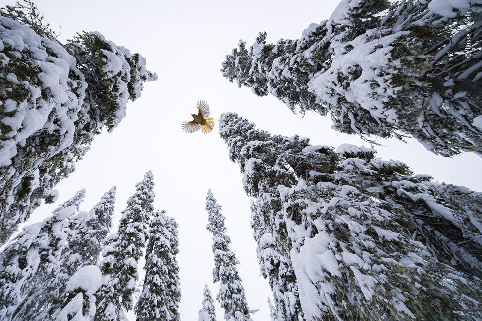 Lasse Kurkela (Finlandia) observa cómo un arrendajo siberiano vuela hasta la copa de un abeto para guardar su comida. Lasse quería dar una sensación de escala en su fotografía del arrendajo siberiano, diminuto entre el antiguo bosque dominado por los abetos. Utilizó trozos de queso para acostumbrar a los arrendajos a su cámara teledirigida y animarles a seguir una determinada trayectoria de vuelo. Los arrendajos siberianos utilizan los árboles viejos como despensa. Su saliva pegajosa les ayuda a pegar alimentos como semillas, bayas, pequeños roedores e insectos en lo alto de los agujeros y grietas de la corteza y entre los líquenes colgantes.