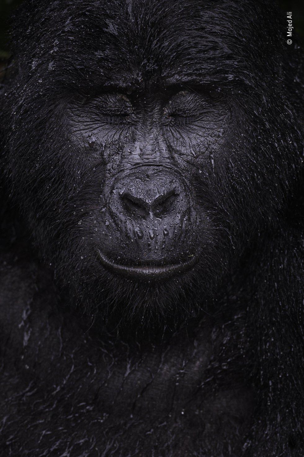 """Majed Ali (Kuwait) vislumbra el momento en que un gorila de montaña cierra los ojos bajo la lluvia. Majed caminó durante cuatro horas para conocer a Kibande, un gorila de montaña de casi 40 años. """"Cuanto más subíamos, más calor y humedad había"""", recuerda Majed. Cuando empezó a llover, Kibande permaneció al aire libre y pareció disfrutar del chaparrón. Los gorilas de montaña son una subespecie de gorila oriental y se encuentran a más de 1.400 metros de altura en dos poblaciones aisladas: en los volcanes Virunga y en Bwindi. Estos gorilas están en peligro de extinción debido a la pérdida de hábitat, las enfermedades, la caza furtiva y la alteración del hábitat causada por la actividad humana."""