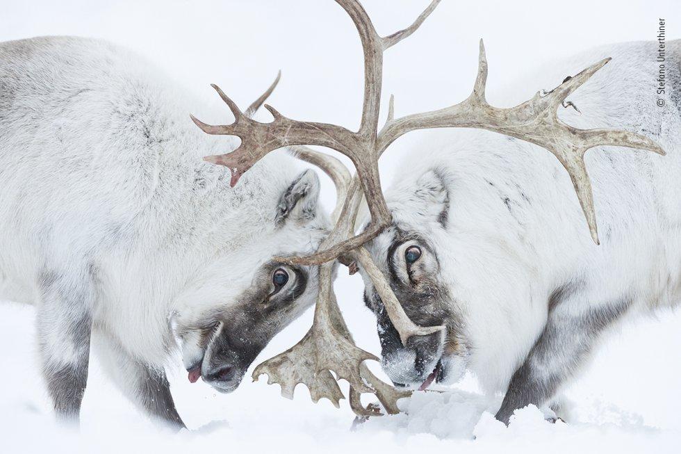 """Stefano Unterthiner (Italia) observa cómo dos renos de Svalbard luchan por el control de un harén. Stefano siguió a estos renos durante la época de celo. Observando la lucha, se sintió inmerso en """"el olor, el ruido, la fatiga y el dolor"""". Los renos chocaron las astas hasta que el macho dominante (izquierda) ahuyentó a su rival, asegurándose la oportunidad de reproducirse. Los renos están muy extendidos por el Ártico, pero esta subespecie sólo se da en Svalbard. Las poblaciones se ven afectadas por el cambio climático, ya que el aumento de las precipitaciones puede congelar el suelo, impidiendo el acceso a las plantas que, de otro modo, estarían bajo la nieve blanda."""