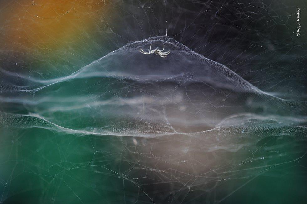 Vidyun R Hebbar (India) observa una 'cyrtophora moluccensis' mientras pasa un tuk-tuk. Explorando su parque temático local, Vidyun encontró una tela de araña ocupada en un hueco de una pared. Un tuk-tuk (rickshaw motorizado) que pasaba por allí proporcionaba un telón de fondo con los colores del arco iris para resaltar la creación de seda de la araña, Las 'cyrtophora moluccensis' son diminutas, ésta tenía patas de menos de 15 milímetros. Tejen cúpulas de malla cuadrada no pegajosas, rodeadas de redes de hilos enmarañados que dificultan la huida de las presas. En lugar de tejer nuevas telas cada día, las arañas reparan las existentes.