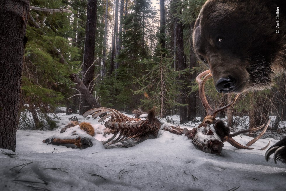 Zack Clothier (Estados Unidos) descubre que un oso grizzly se ha interesado por su cámara trampa. Zack decidió que estos restos de alce macho eran un lugar ideal para colocar una cámara trampa. Volver al lugar fue todo un reto. Zack tuvo que sortear el agua de deshielo con los árboles caídos, para encontrarse con que su instalación estaba destrozada. Este fue el último fotograma capturado por la cámara. Los grizzlies, una subespecie de los osos pardos, pasan hasta siete meses en letargo, una forma ligera de hibernación. Al emerger en primavera, están hambrientos y consumen una gran variedad de alimentos, incluidos los mamíferos.