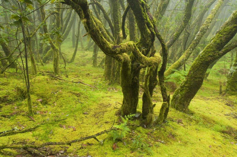 La laurisilva canaria es un tipo de bosque subtropical que se remonta a la Era Terciaria y pervive, en óptimas condiciones, en el parque nacional de Garajonay, en la isla canaria de La Gomera. Un escenario con un punto de irrealidad, envuelto en aguas y brumas, con musgos y líquenes recubriendo los troncos de los árboles y profusión de helechos, como demostración botánica de la elevada humedad del ambiente. Es patrimonio mundial y reserva de la biosfera de la UNESCO.