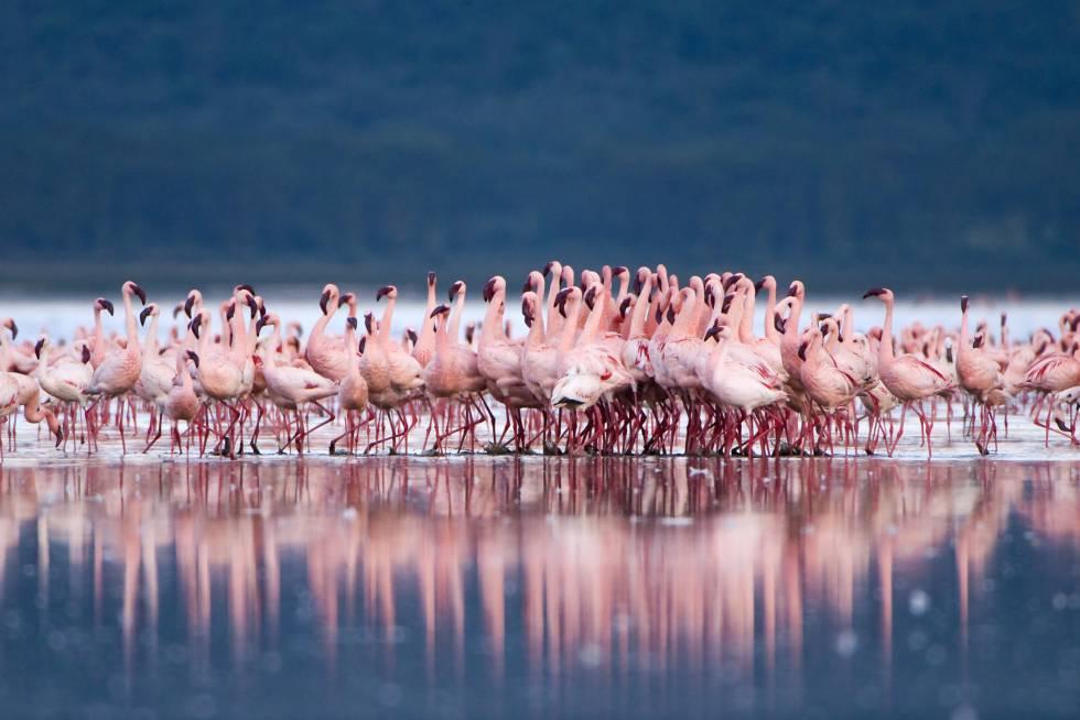 """La reunión de más de millón y medio de flamencos atraídos por las algas que crecen en el Nakuru, uno de los lagos alcalinos del Gran Valle del Rift, en Kenia central, fue calificada por el ornitólogo Roger Tory Paterson, uno de los inspiradores del movimiento ecologista del siglo XX, como """"el más fabuloso espectáculo aviar del planeta"""". El lago está situado a más de 1.700 metros sobre el nivel del mar y da nombre a un parque nacional (nakuru en masái significa polvoriento) creado para proteger pastizales, bosques y una enorme diversidad biológica. El lugar perfecto para la observación de aves, y también del rinoceronte blanco."""