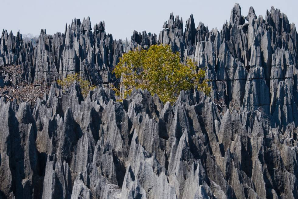 """En lengua malgache, tsingy significa """"donde no se puede caminar descalzo"""". Una expresión muy apropiada para describir este bosque pétreo, erizado de agujas de piedra caliza afiladas como navajas, modelado por la lluvia, la erosión y las aguas subterráneas en el enorme macizo calcáreo de Bemaraha (costa occidental de Madagascar). Cañones, gargantas, bosques, lagos y manglares con una enorme biodiversidad adaptada a sus extremas condiciones y multitud de endemismos. Todo el conjunto está protegido y declarado patrimonio mundial. Dicen los expertos que algún día esta frágil formación geológica terminará por desaparecer."""