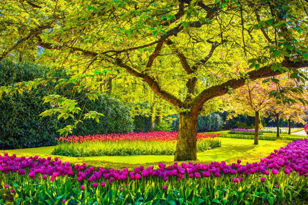 Tan espectacular como efímero, el  jardín Keukenhof , en Lisse , a mitad de camino entre Ámsterdam y La Haya, solo abre en primavera (del 21 de marzo al 10 de mayo en 2020), cuando florecen más de siete millones de bulbos de 800 variedades de tulipanes. Es el jardín de tulipanes más grande del mundo pero en sus 32 hectáreas se pueden contemplar además jacintos, narcisos, rosas, claveles, lirios, azucenas. Y orquídeas, a las que dedica uno de sus cuatro pabellones. En otro, llamado Juliana, se organiza la exposición 'Tulip-Manía'. Los niños pueden disfrutar de búsquedas del tesoro, un laberinto o una granja de animales con gallinas y cabras.