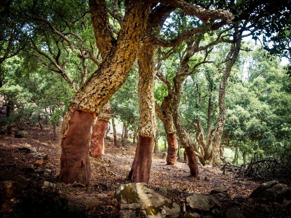 En Andalucía existe una zona abundante en lluvia, brumosa, de contornos desdibujados, donde la humedad procedente de la costa se acumula formando bosques de niebla en los canutos (valles estrechos y profundos), y favorece la pervivencia de la laurisilva, perteneciente a la era Terciaria. Laurel, ojaranzo, durillos, acebos, helechos. Junto a la mayor masa de alcornocal de la península ibérica. Es el  parque natural Los Alcornocales , en la provincia de Cádiz y parte de la de Málaga, un oasis de agua en el caluroso sur español.