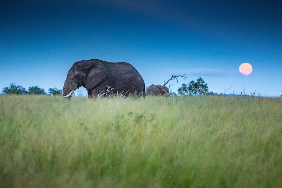 Pequeño, agradable y rico en cultura y en fauna, el reino de Esuatini (la antigua Suazilandia) es, sin embargo, uno de los países menos visitados (y más infravalorados) de África. 2020 puede ser el año de su despegue, gracias a carreteras mejoradas, un nuevo aeropuerto internacional y la tranquilidad –ajena a tensiones urbanas– que no se da en otras naciones vecinas. Un viaje a Esuatini (reino de los suazís) invita a conocer las tradiciones africanas y a curiosear en el mercado de Manzini en busca de tesoros de la artesanía local; a recorrer el valle de Malkerns y a adentrarse en la reserva protegida de Mkhaya, donde el rinoceronte es el rey. Otros grandes mamíferos, como leones, leopardos o elefantes, son avistables en la mayor zona protegida del país, el parque nacional de Hlane (en la foto).