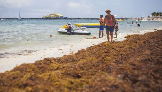 Mexico seaweed invasion: Seaweed invasion threatening