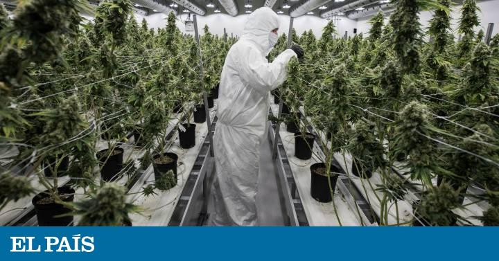 Marihuana El Reto De Legalizar El Cannabis Internacional El Pas