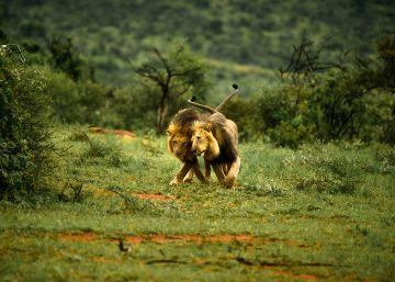 Kenia culpa al turismo gay de un encuentro sexual entre leones machos