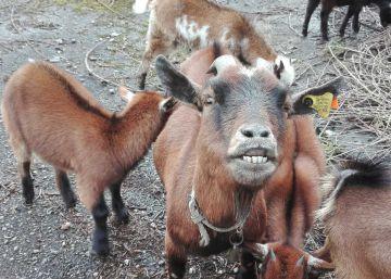 La cabra ?Genoveva? lidera la prevención de incendios en Portugal
