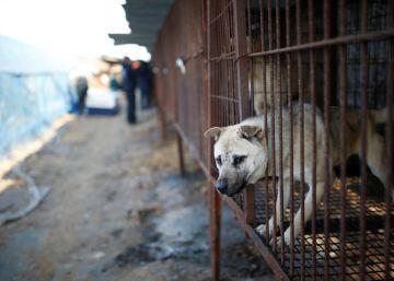 Carne de perro, ?manjar? estival en Corea del Norte