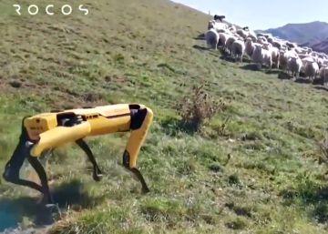 El robot de cuatro patas se vuelve pastor de ovejas en Nueva Zelanda