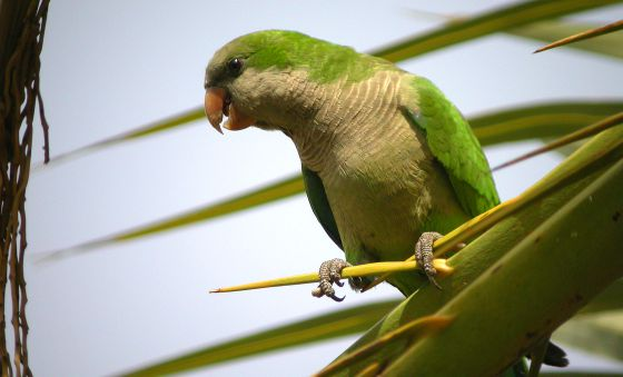 Wildlife in Spain: Monk parakeets now seen as a plague in