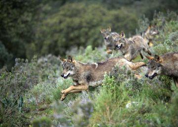 El lobo que no teme a los pastores