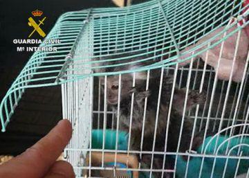 La Guardia Civil frustra la venta ilegal de seis primates por Internet