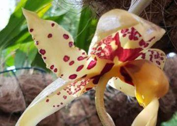La flor que huele a chocolate durante 48 horas