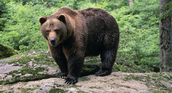El Gobierno impide una presa en el Navia que afectaría al oso pardo ...