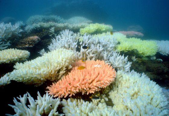 La Gran Barrera de Australia ha perdido la mitad de sus corales ...