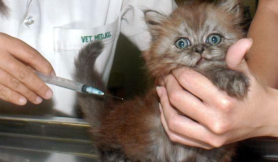 Resultado de imagen para gripe aviar en gatos