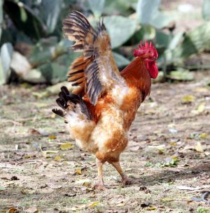 Cresta de gallo en la mujer