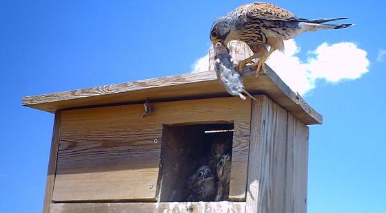 Las aves efectivos plaguicidas naturales sociedad el pa s - Como cazar ratones en casa ...
