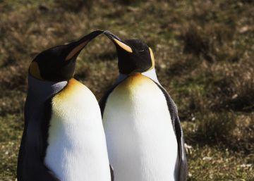 Dos pingüinos gais, los mejores padres