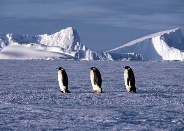 La reproducción del pingüino emperador se tambalea en la Antártida
